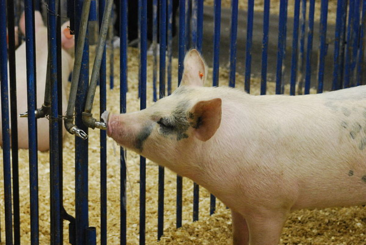 Constant access to clean water is essential for a pig's overall health.