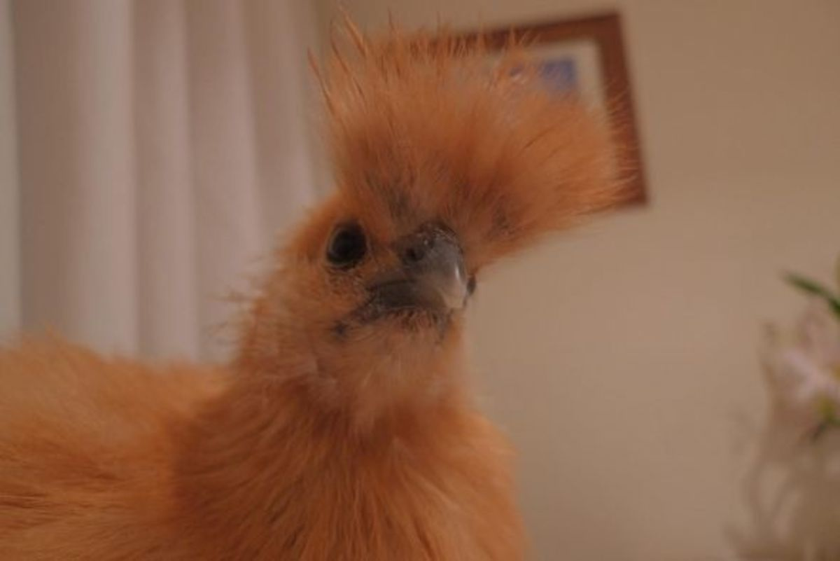 Young silkie's crest