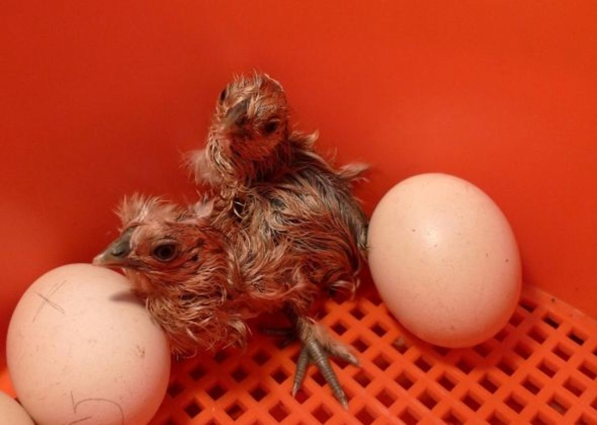Just hatched silkie chick drying off in the incubator.