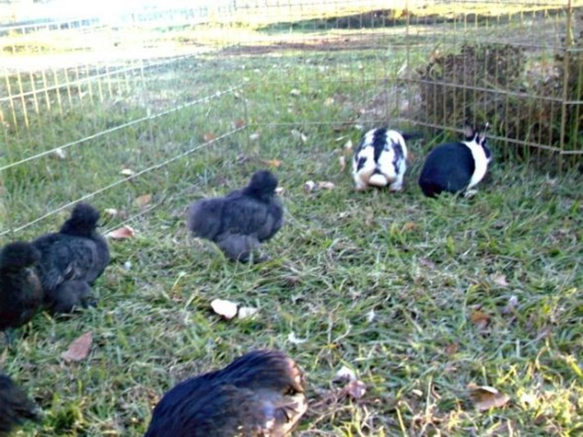 Are they rabbits or chickens?