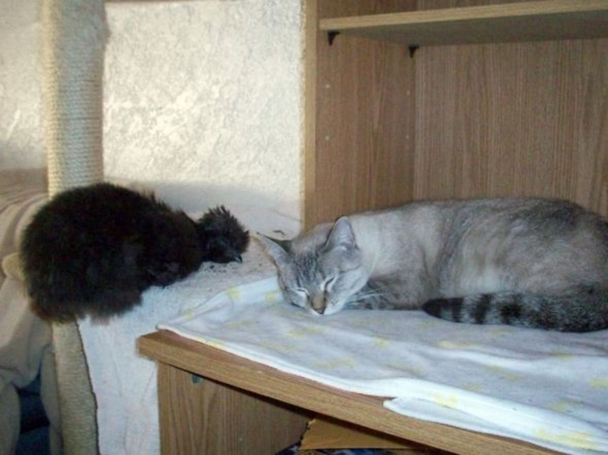 Silkie sleeping with cat