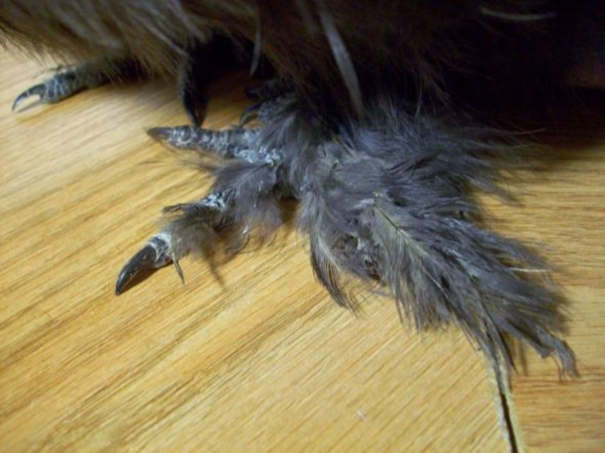 A silkie's feathered feet