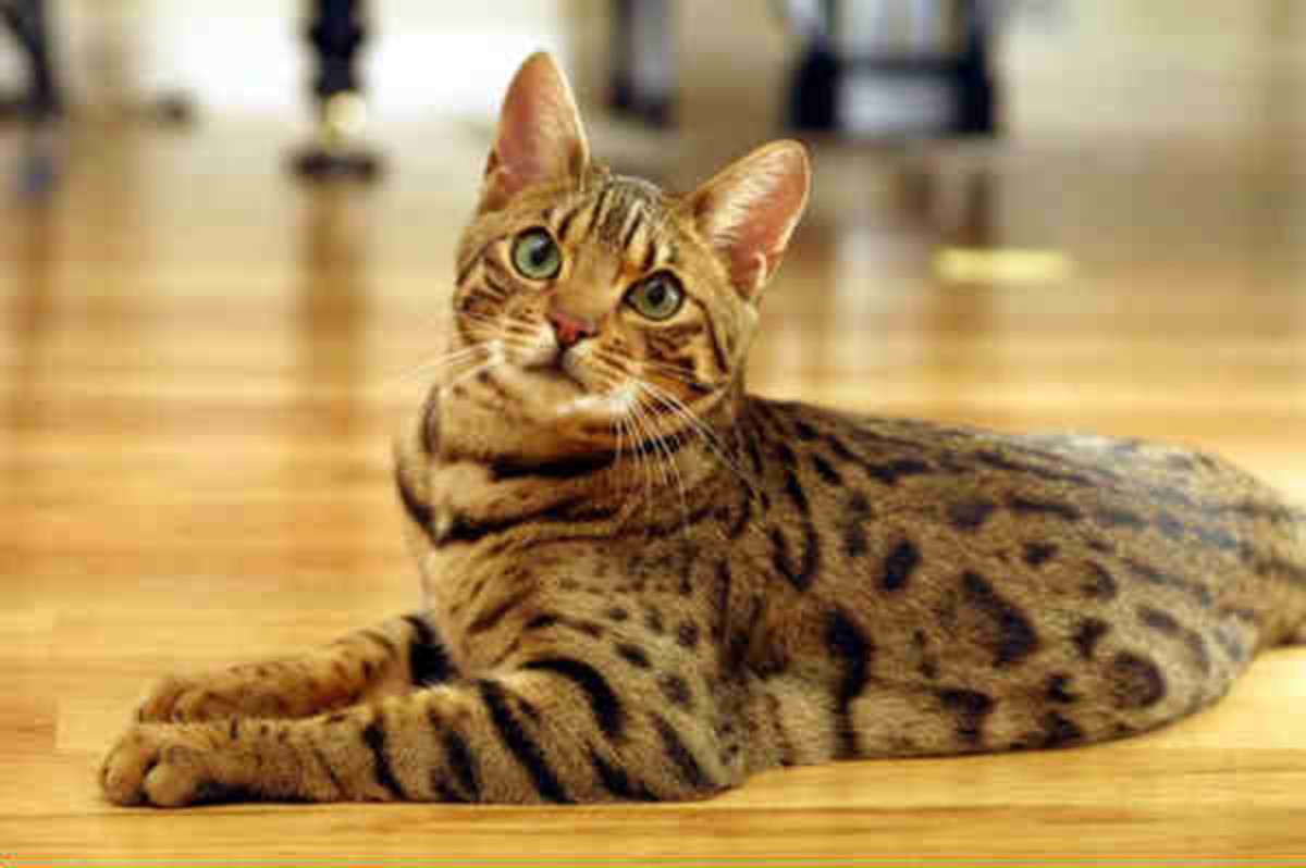 After careful and selective breeding, the beautiful Bengal cat is the result.