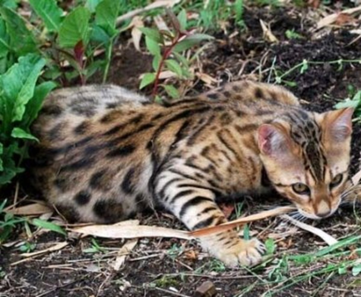 Bengal Cats are known for their stunning coats, known as pelts due to their silky feel and glittery touch.