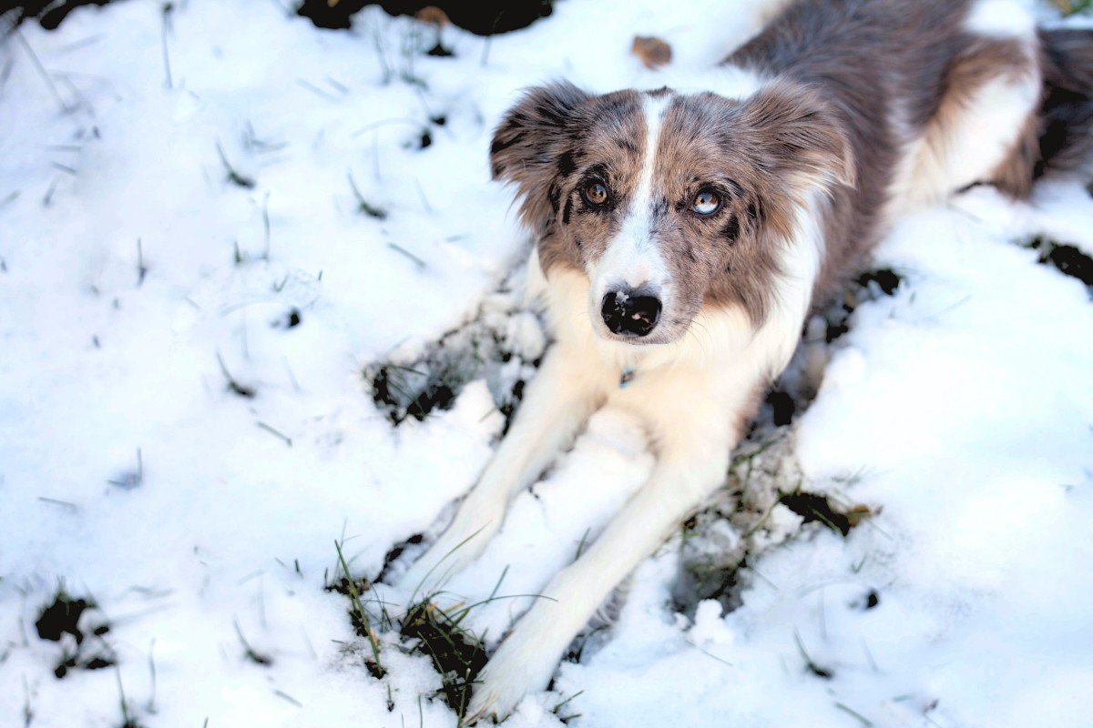 Small iceballs and toxic deicing salts can irritate and even injure your dog's paws.