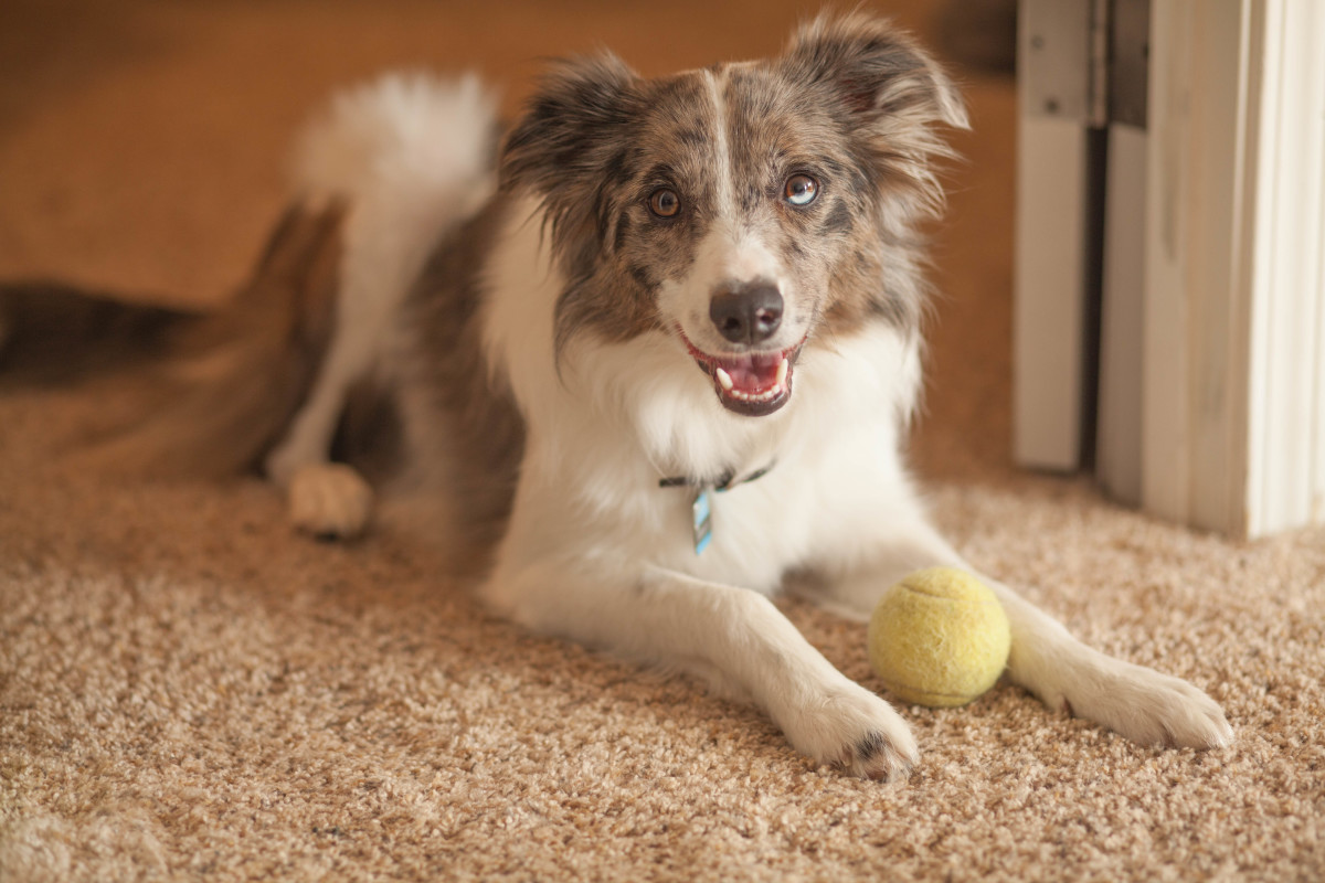 8 Reasons Why Your Dog Keeps Licking His Paws Pethelpful