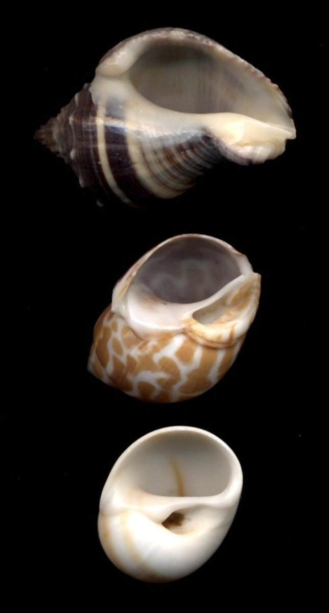 Shells with D-shaped holes are preferred by crab species with flatter thoraxes. Pictured (top to bottom): Crown Conch, Babylonia Spirata, Whale Eye