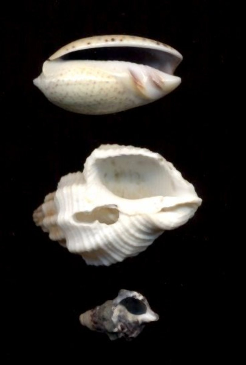 Avoid these types of shells (top to bottom): shells with slit openings, broken shells, and micro shells.