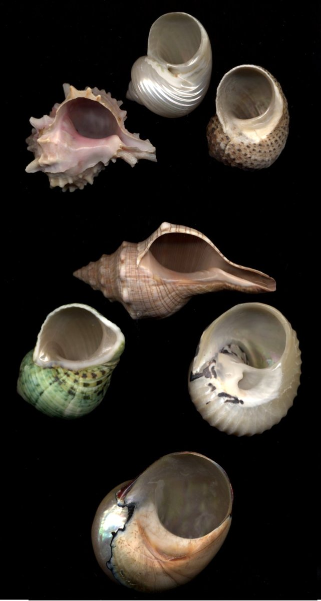Let's say your hermit crab is in the topmost shell and the rest are for size comparisons. Top group: all roughly the same size as your crab's shell. Middle group: one size larger (these are the shells you should buy). Bottom: Too large. Pictured (top