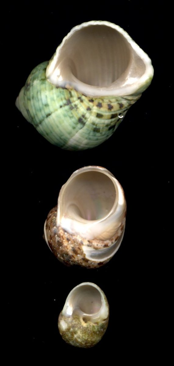 Shells with round holes are preferred by most common hermit crabs. Pictured (top to bottom): Natural Green Turbo, Tapestry Turbo, Turbo Cinerius