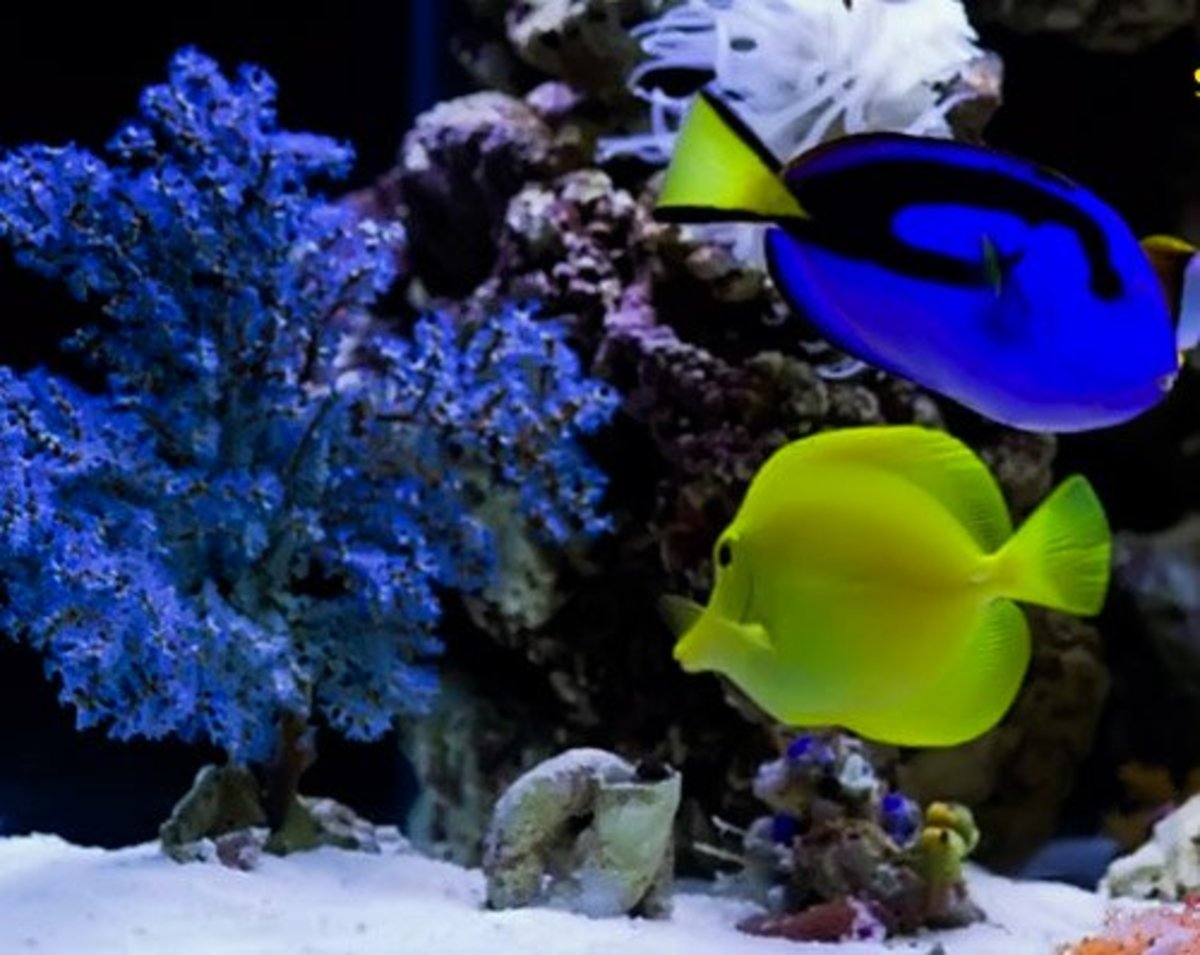 Yellow and blue tang: Two of the most popular fish in the hobby.
