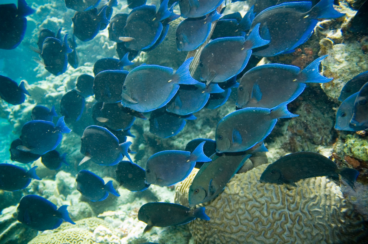 School of blue tang.