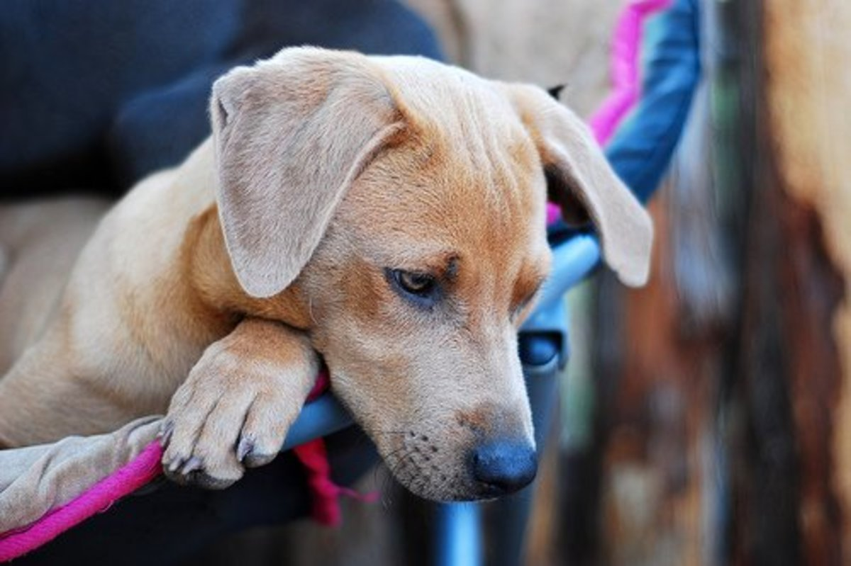 A Red Lacy puppy at Bayed Blue Kennels. Photo by Julie Neumann, all rights reserved.