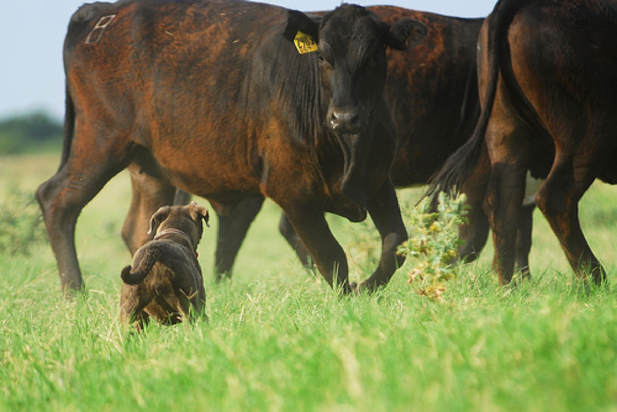 A Lacy Dog works cattle on a hot summer day in Texas. Photo by Julie Neumann, all rights reserved.