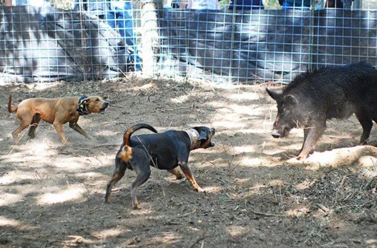 A Red Lacy and a Tri Lacy baying a feral hog. In addition to blue, Lacys can also be red and tri-colored. Photo by Julie Neumann, all rights reserved.