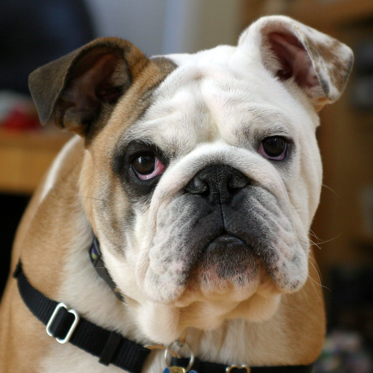 A six-month-old purebred Bulldog. This is a friendly and sometimes willful breed.