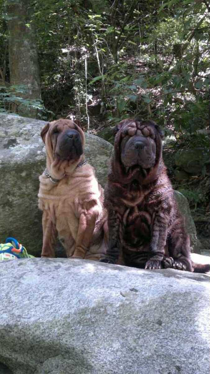 Shar-Peis are suspicious of strangers, related to their origins are guard dogs.