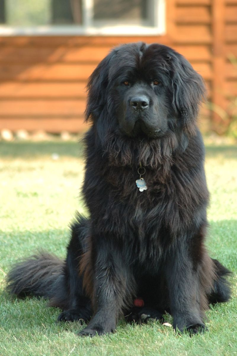 Newfoundland dogs are exceptionally patient.