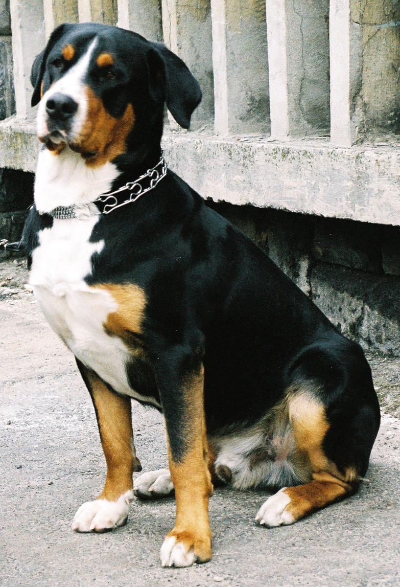 Great with children, Greater Swiss Mountain dogs are big-boned and were bred for working.