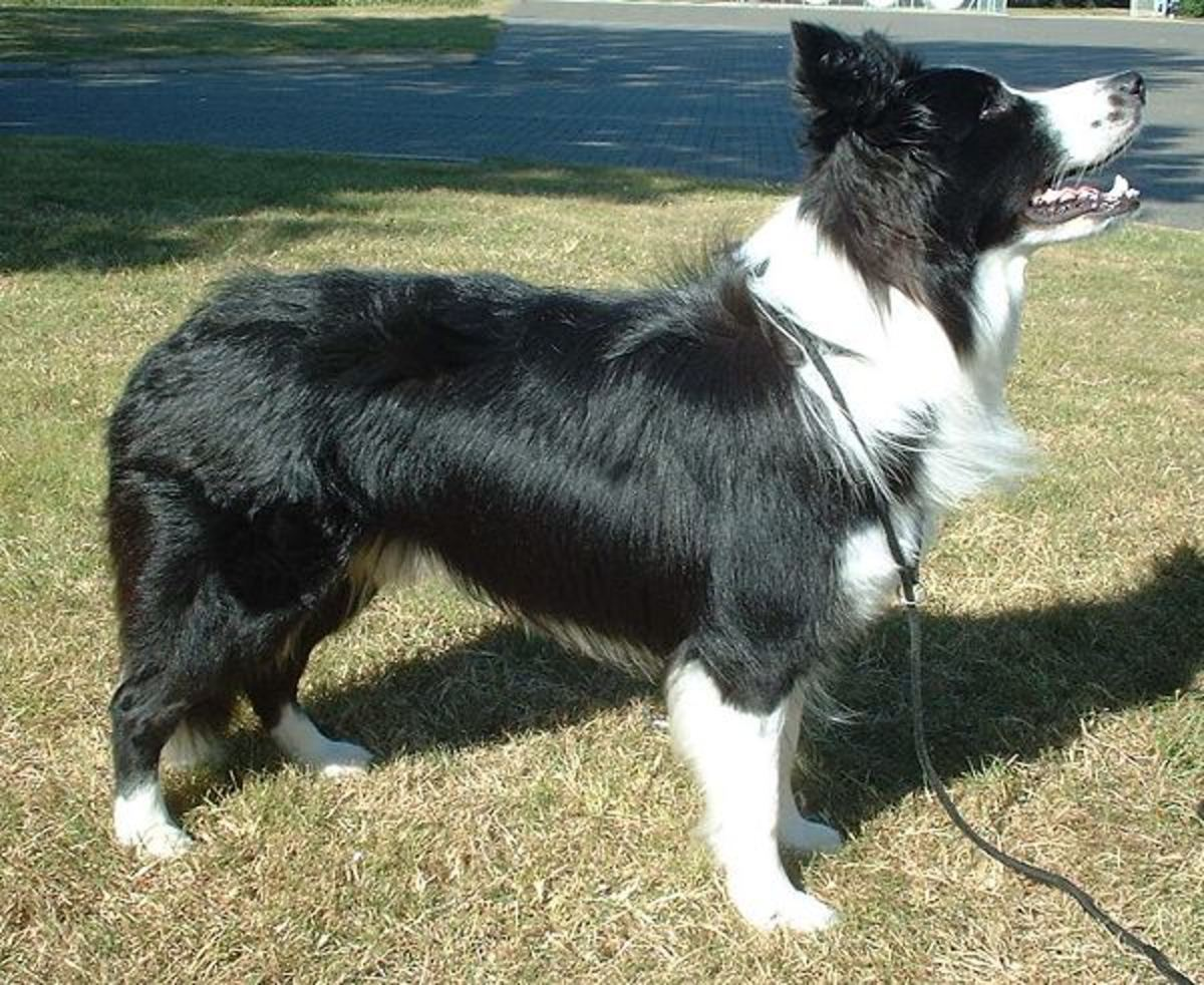 A Border Collie. These are ideal family dogs that enjoy mental and physical challenges.