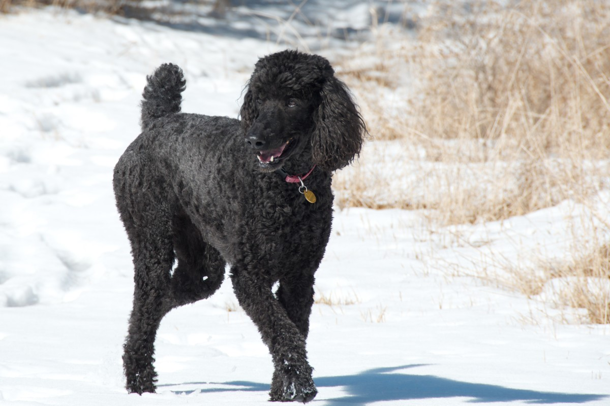 A standard poodle. These are among the most intelligent dogs.