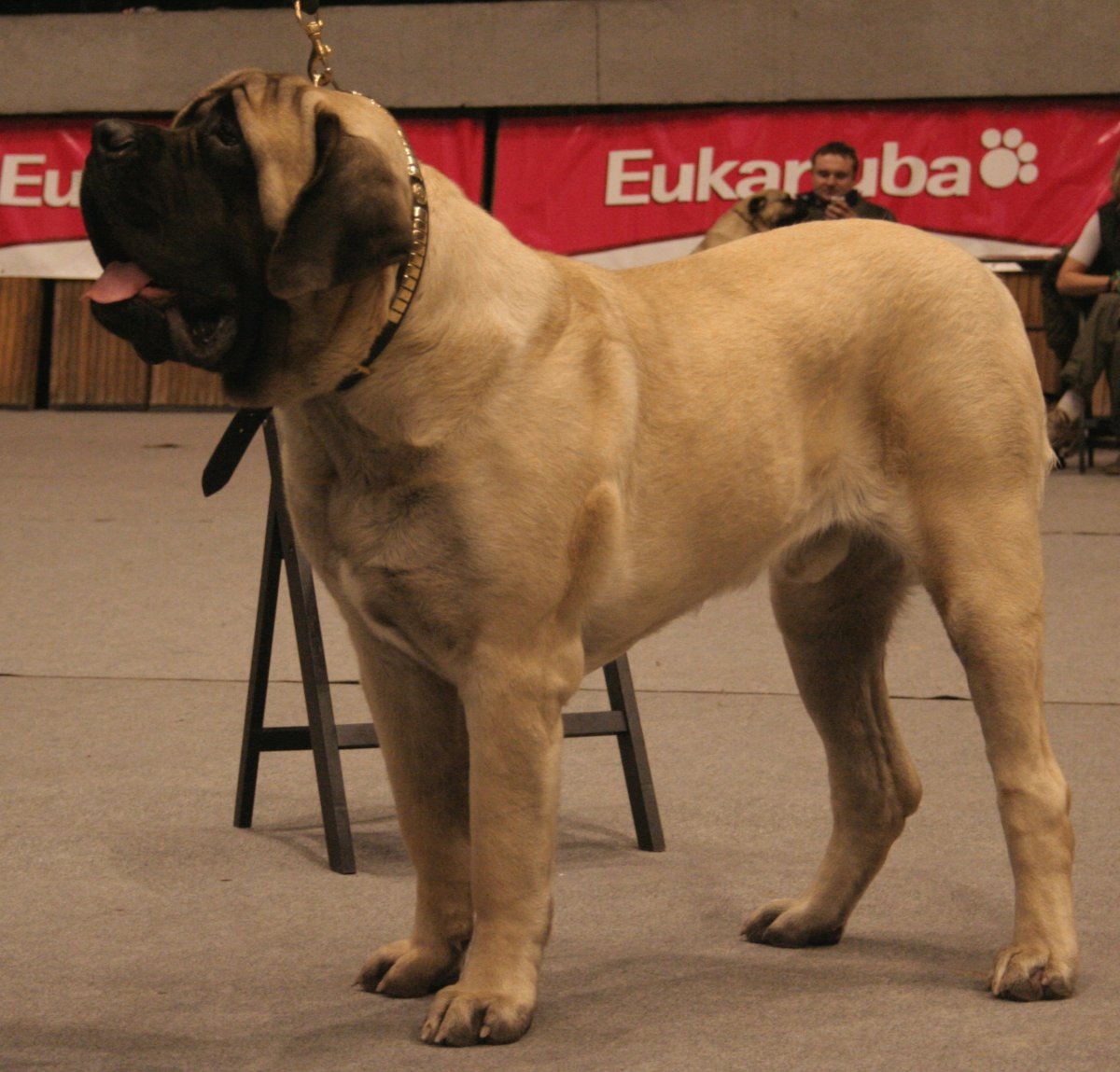 An English Mastiff. These dogs have massive bodies but are good-natured and calm.