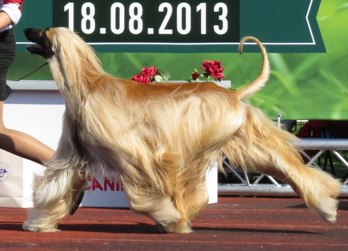 An Afghan Hound in the ring during a handler competition. These dogs are handsome but not the most intelligent breed.