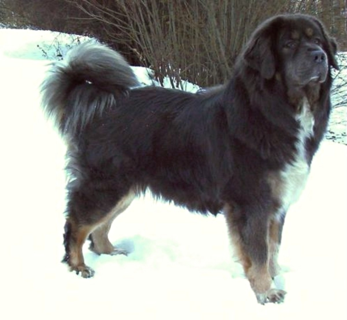 Tibetan Mastiffs are not as big as other types of mastiff.