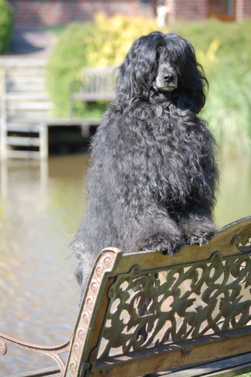 Portuguese Water Dogs do not shed!