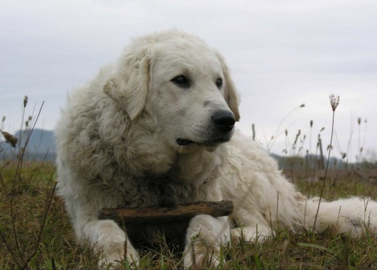 Kuvasz is a robust and protective dog.