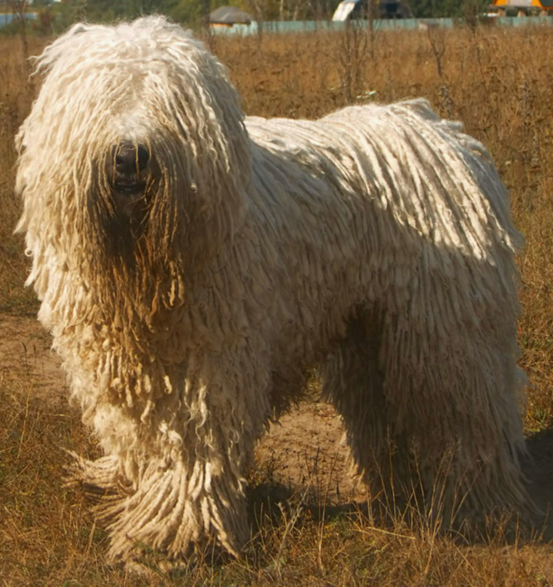Komondors are one of Hungary's national breeds. The special dread lock coat protects against extreme temperatures.