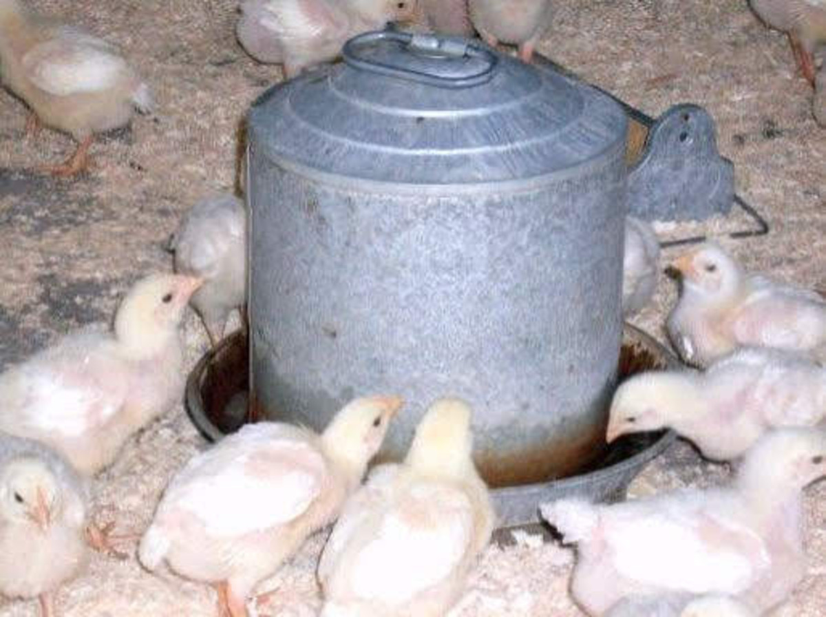 This waterer ensures the birds have relatively clean, good water at all times, and is difficult for them to get wet in.