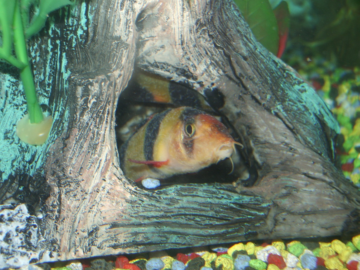 Two clown loaches with white spot disease. The second fish can be seen hiding inside the ornament.