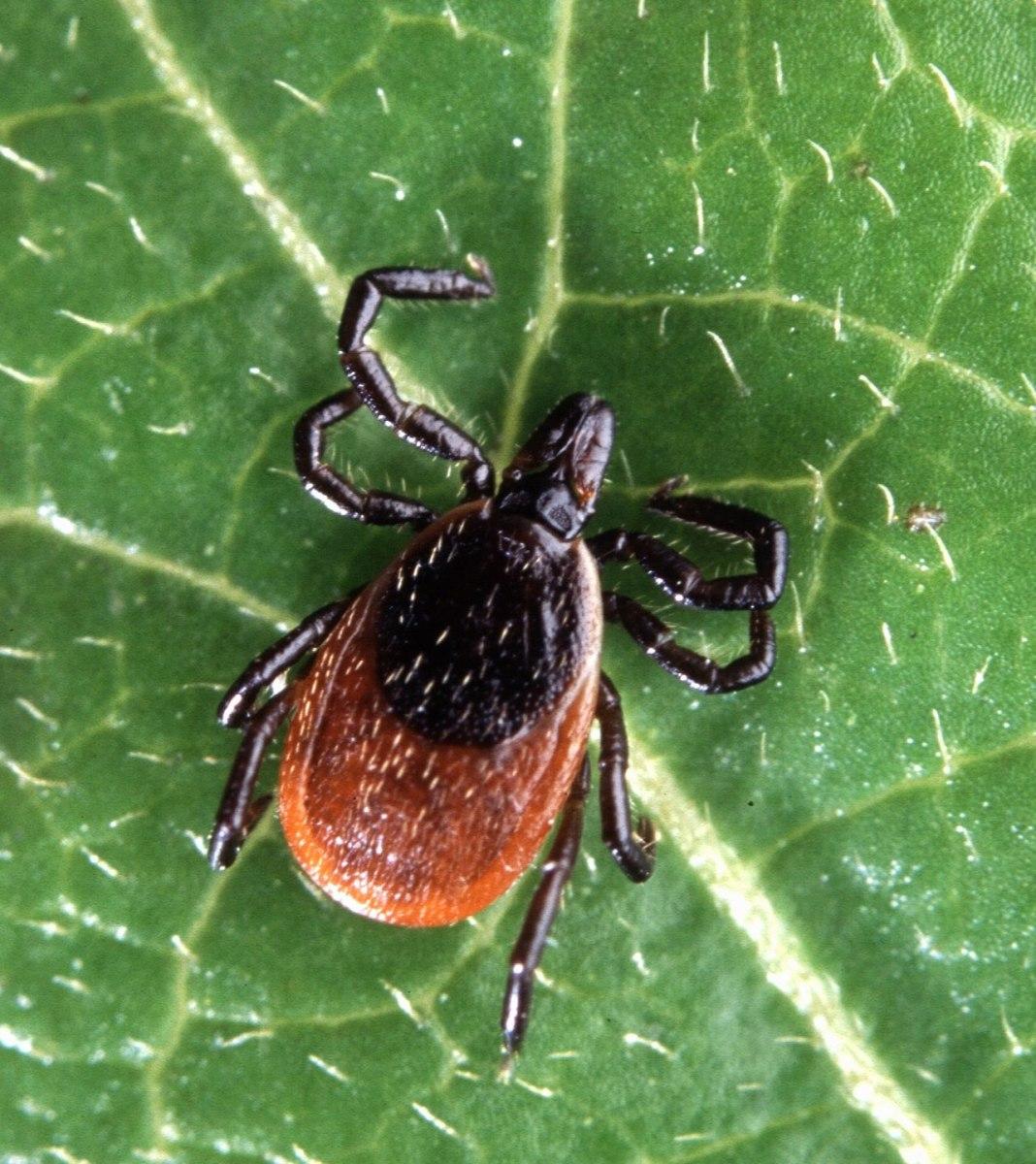 The black-legged tick or deer tick transmits Lyme disease.