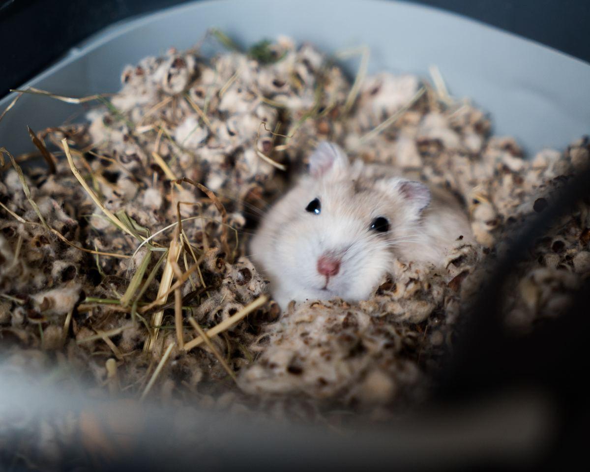Hamsters may carry lymphocytic choriomeningitis virus.