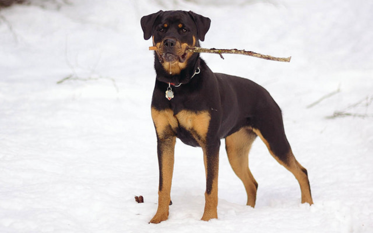 Rottweilers are confident and loyal dogs.