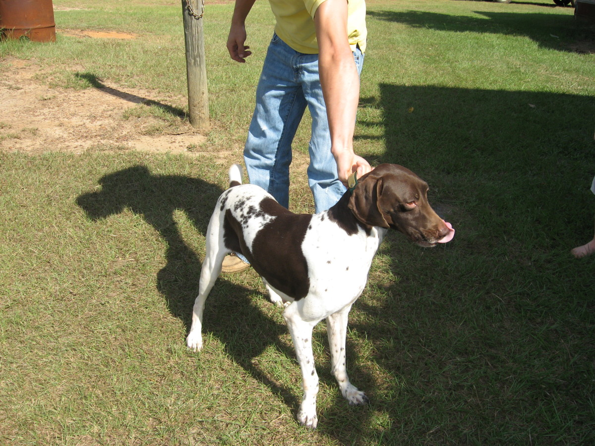 English Pointers are very patient with young children.