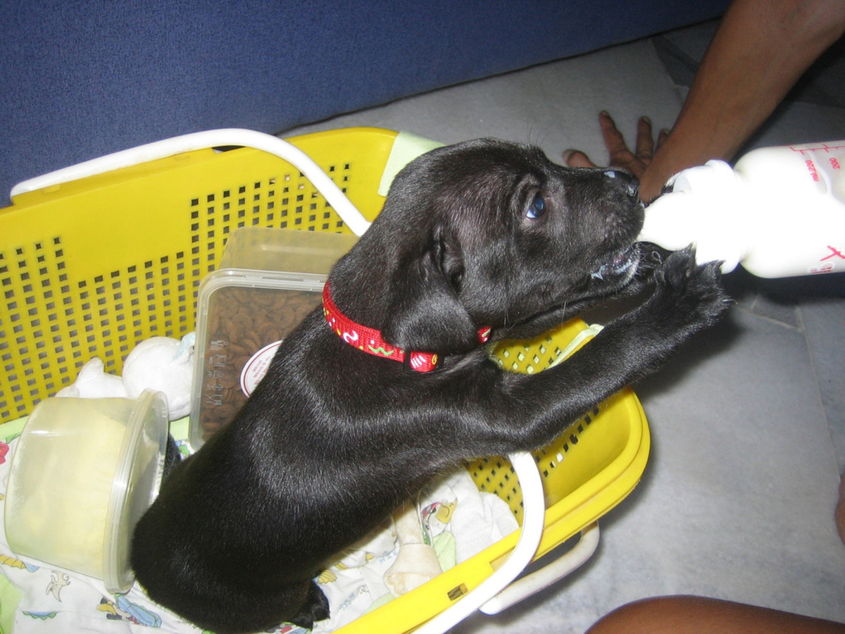 Labrador drinking milk