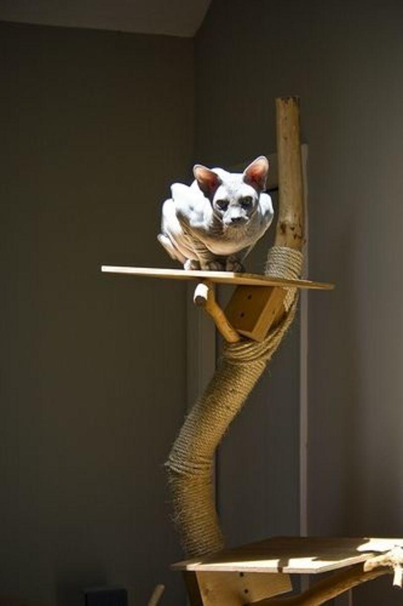 Spynx Cat on a Homemade Cat Tree
