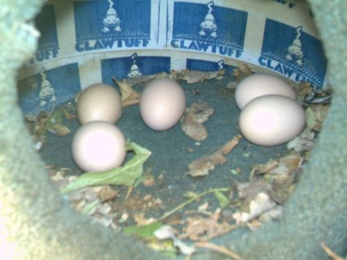 Chicken eggs laid in spring