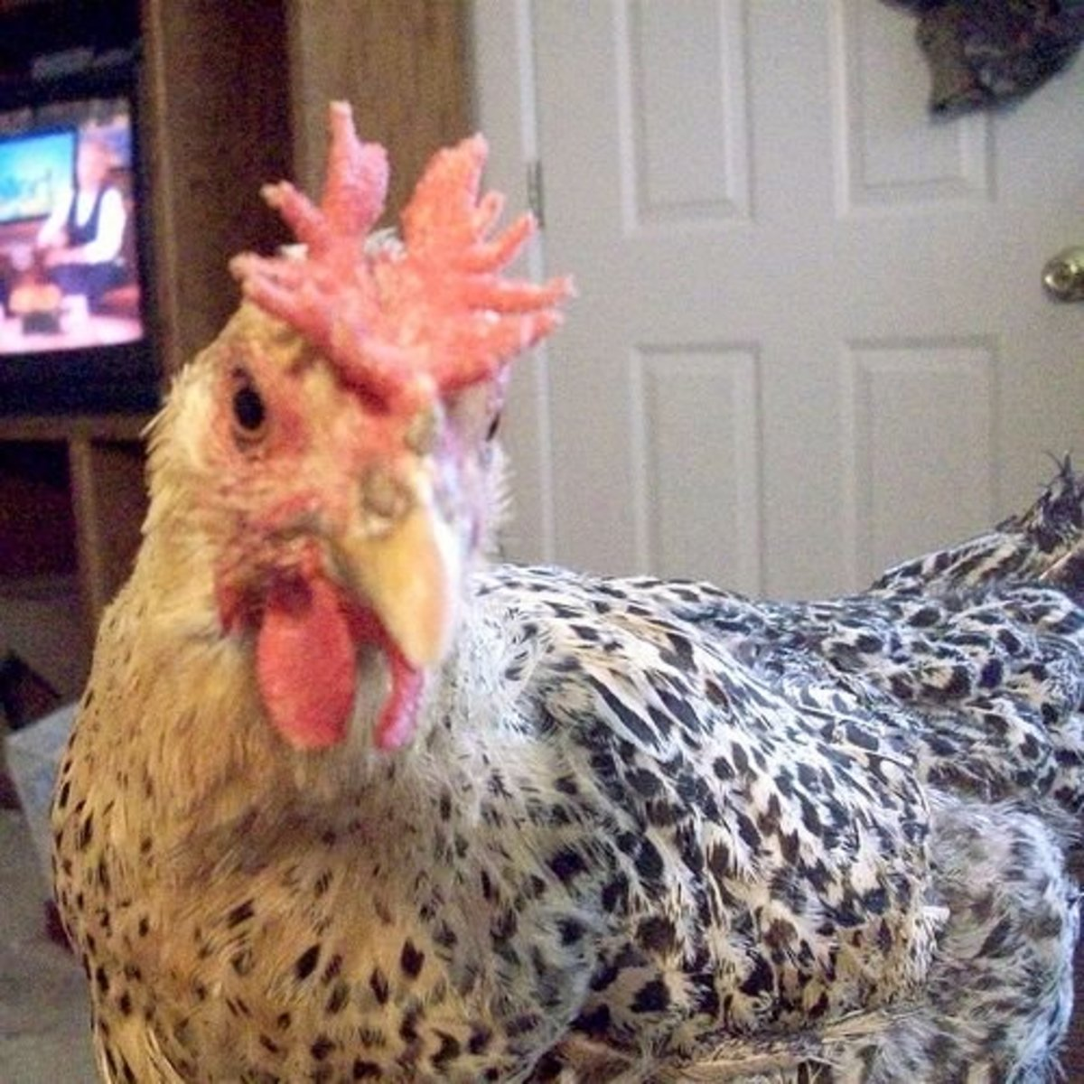Chickens can be intelligent