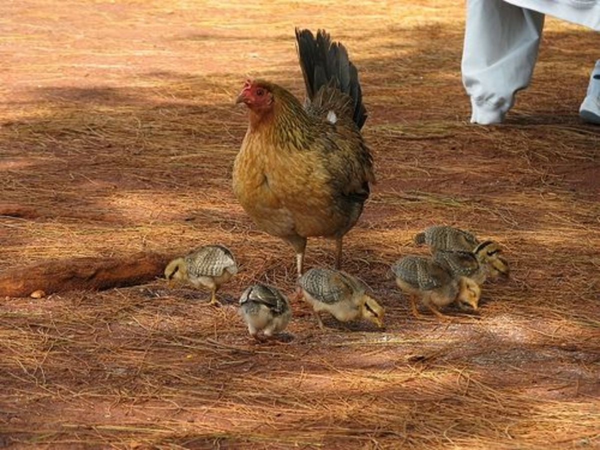 Hen with her chicks
