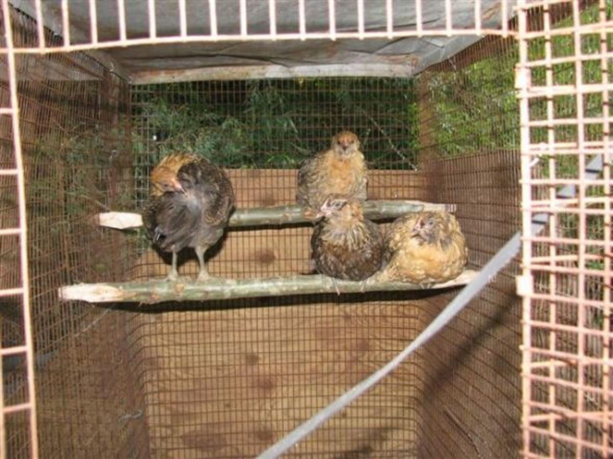 our-ameraucana-chickens