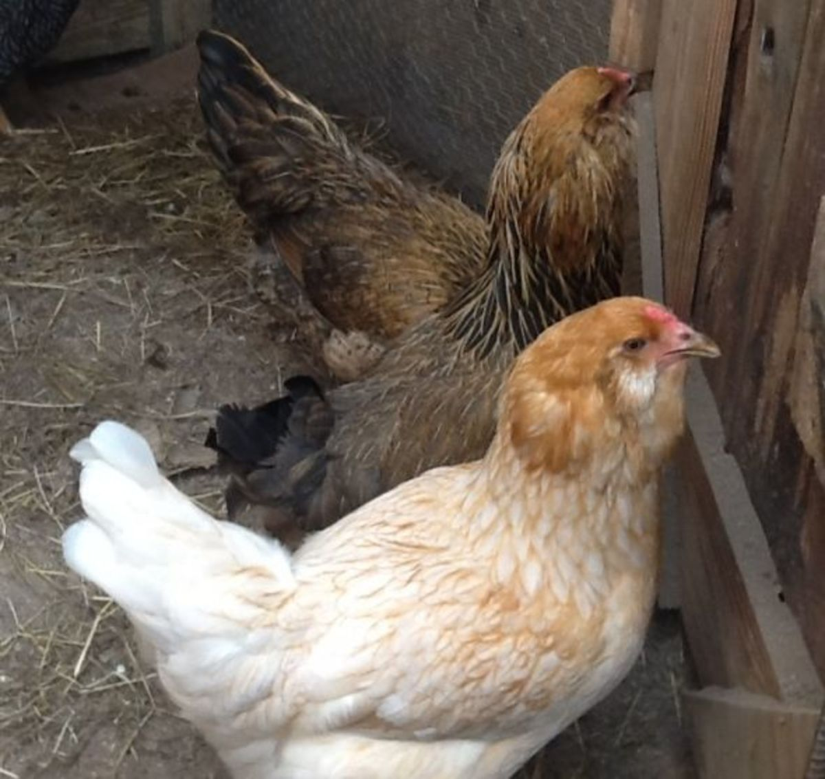 3 New Ameraucana Pullets