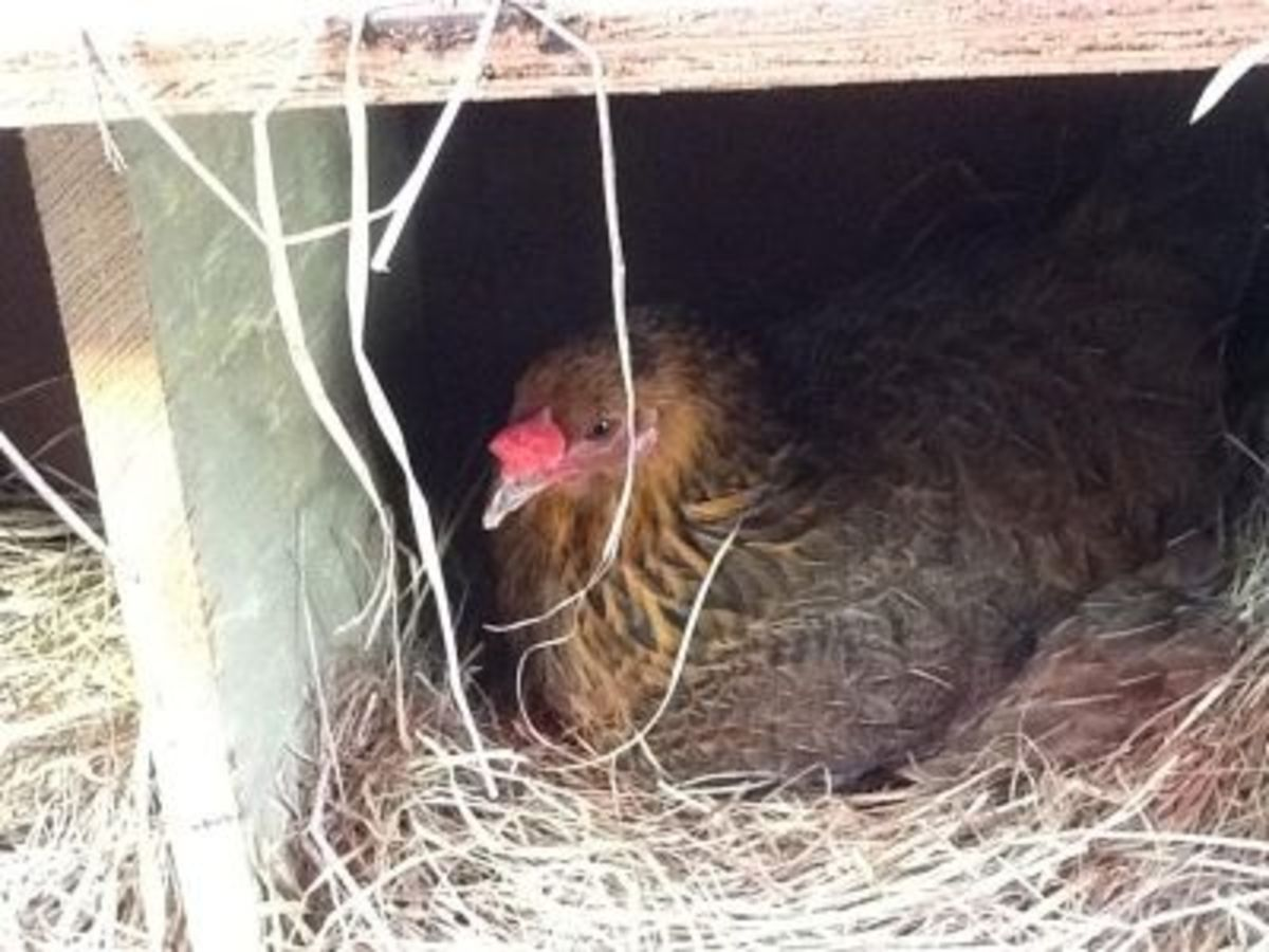 Goldie, one of the older hens, laying a pink egg in a new nest box.