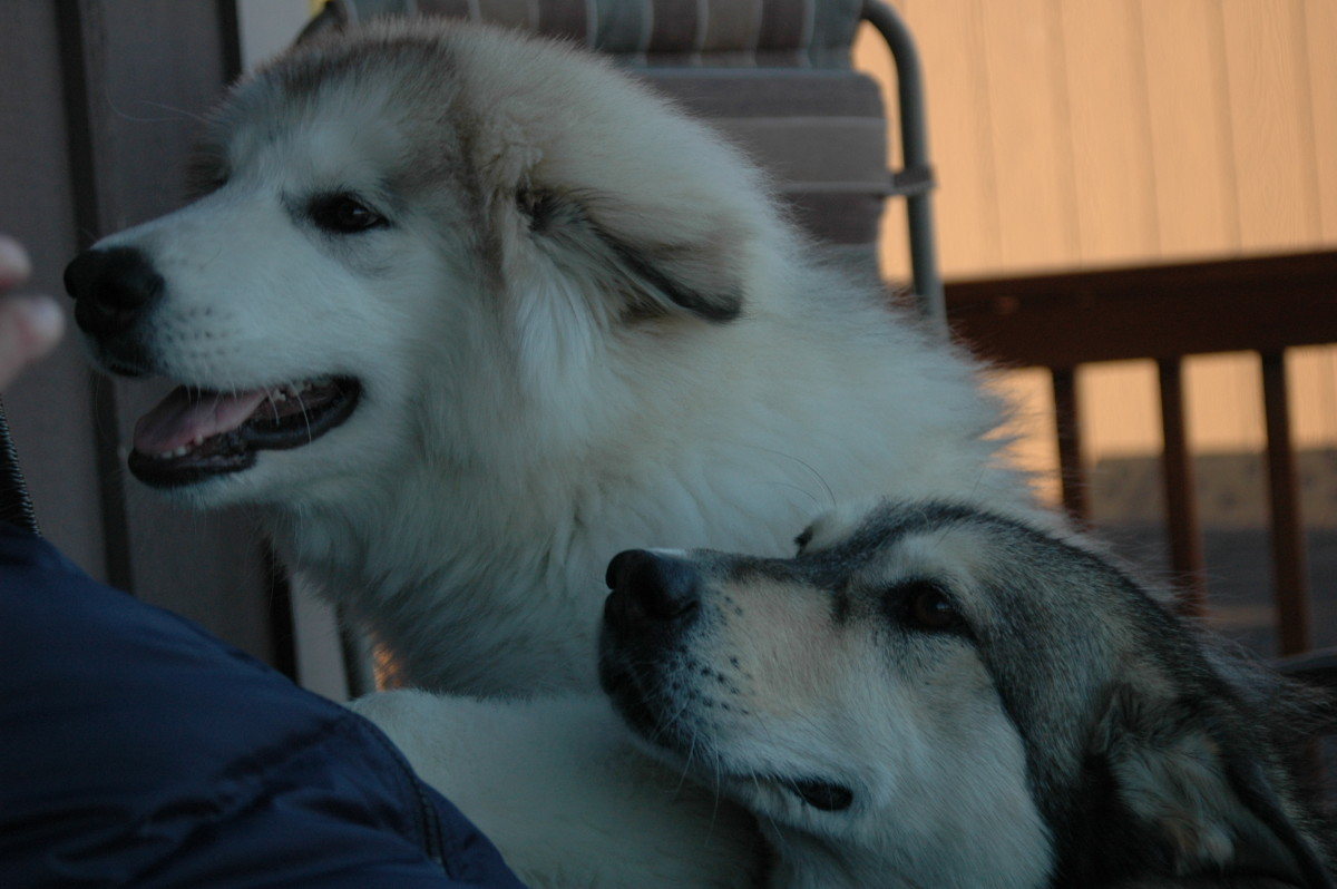 Malamutes require total interaction with family.