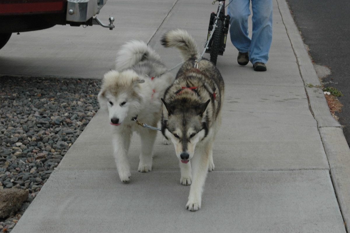 Training malamutes starts early with harnesses.