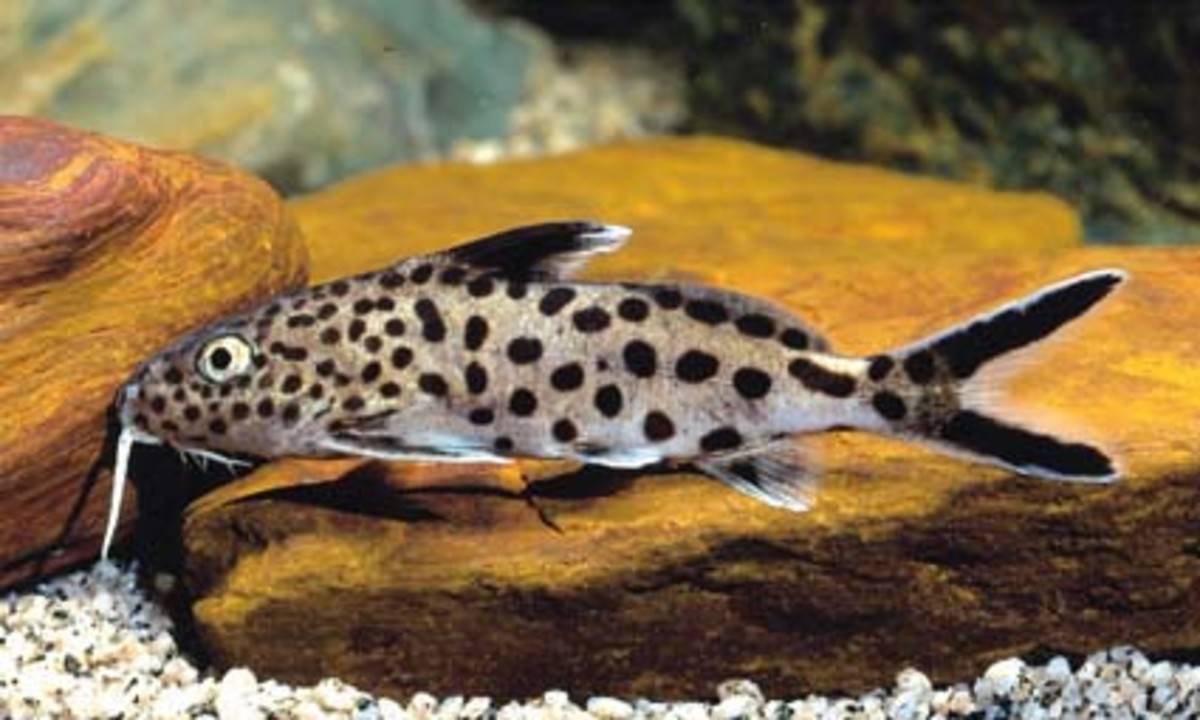 Synodontis Catfish Species Guide