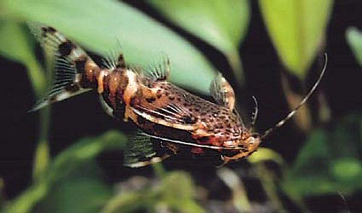 Synodontis nigriventris
