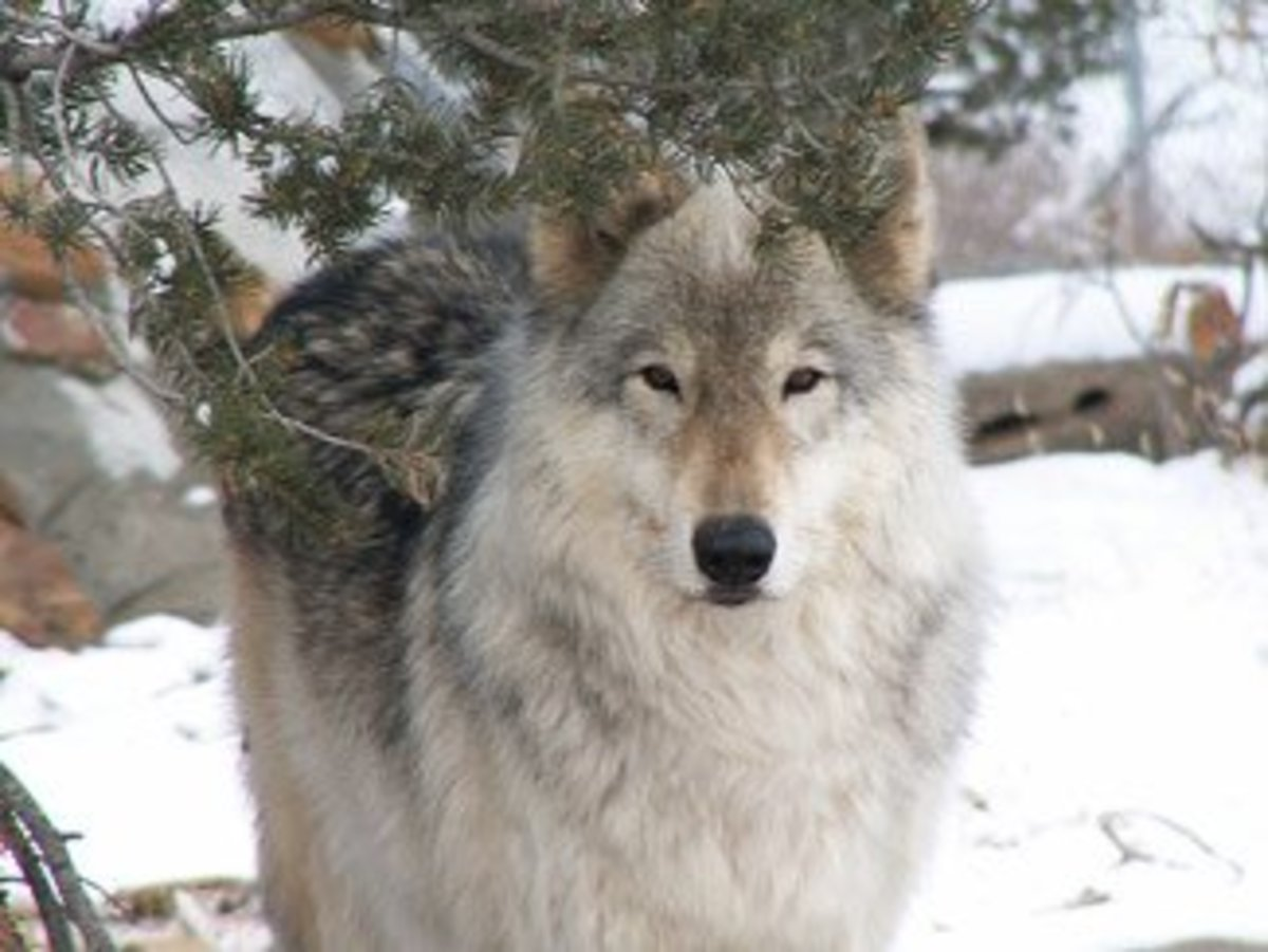 This is an Oure Wolf
